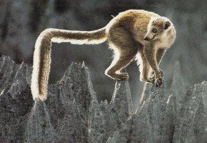Crowned lemur , Madagascar , 1950-70s