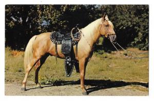 Prize Palomino Saddled Horse Texas Vintage Baxtone Postcard