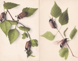 Bee Locust Insect 2x German Education Committee 1906 Postcard s