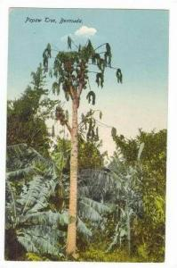 Papaw Tree, Bermuda, 00-10s