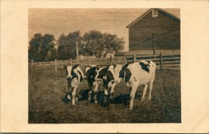 Vtg Véritable Photo Carte Postale Cppr 1920s Noko Holstein-Friesian Noir & Cows