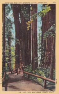 California Santa Cruz County Path Thru The Grove Showing Natural Graft Tree B...