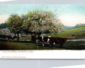 Massachusetts Worcester Apple Blossoms