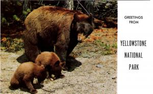 Haynes 65 SERIES #003, American Black Bear and Cubs, Yellowstone National Park