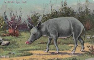 A Florida Razorback pig , 00-10s