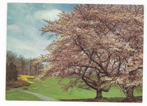 Winterthur Museum Gardens Wilmlington DE Cherry Trees