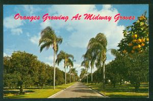 Midway Orange Groves Bradenton Sarasota Florida US Highway 301 FL Postcard