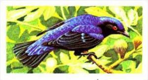 Brooke Bond Trade Card Tropical Birds No 36 Fairy Blue Bird