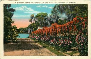 Natural Hedge of Flowers, Flame Vine & Hibiscus, FL, Vintage Postcard e7746