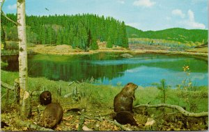 Beaver Scene Museum of Natural History Regina SK Saskatchewan 1970s Postcard F30