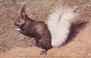 White Tail Kaibab Squirrel Kaibab National Forest Arizona
