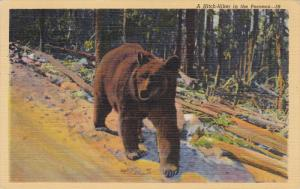 Bear Hitch-Hiker , Pocono Mts , 30-40s