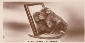 Monkey Ape The Mirror Of Venus German Old Real Photo Cigarette Card