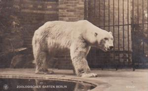 Polar Bear Zoological Garden Berlin Germany 1921
