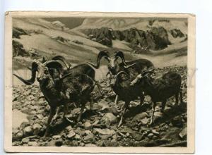 232535 USSR RUSSIA mountain goats Vintage GIZ postcard