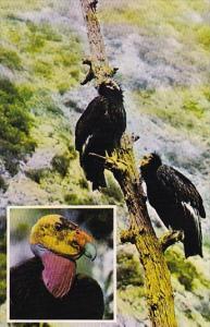 California Gymnogyps Californianus California Condor