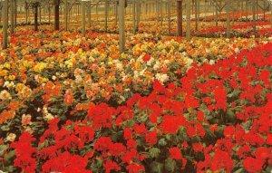 BEGONIA GARDENS Santa Cruz, CA Flowers Monterey Bay 1957 Vintage Postcard