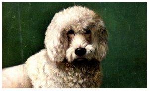 Dog , Poodle
