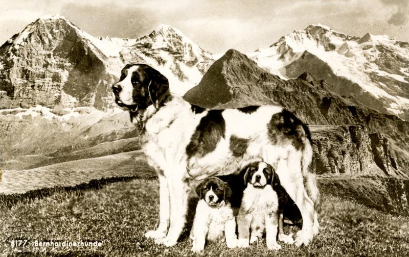 Dogs -  Saint Bernhard and Puppies in the Alps.    *RPPC