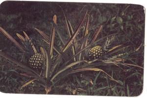 Pineapples of Panama