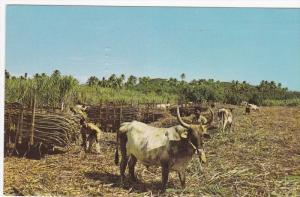 Fijian and Indian Farmers loading cane on bullocks, Fiji, 1971 PU