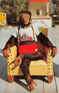 Monkey Post Card Chimpanzee, Monkey Jungle Miami, Florida, USA 1972