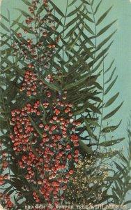 Postcard Pepper Tree Panama California Exposition