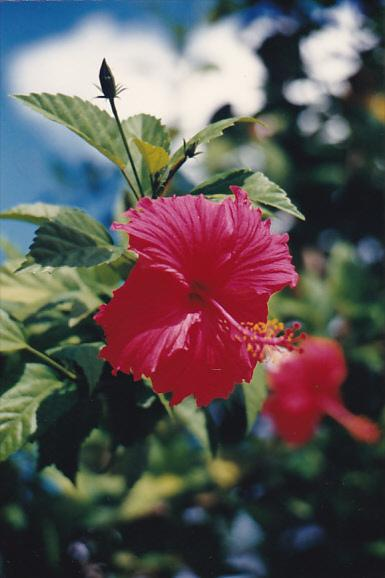 Micronesia Pohnpei Beautiful Native Red Hibiscus