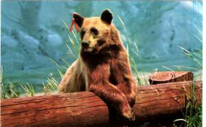 Haynes 65 SERIES #001, American Black Bear, Yellowstone National Park