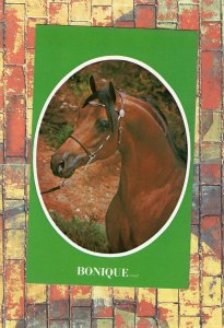 BONIQUE Purebred Arabian Stallion Horse Farm Advertising Postcard Equine