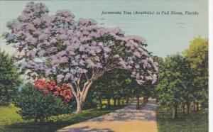 Florida Jacaranda Tree In Full Bloom 1940 Curteich