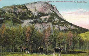 BANFF, Alberta, Canada, 1900-1910´s; Scene in Canadian National Park, Moose