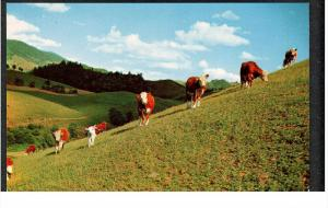 NORTH CAROLINA, 1940-1960's; Slope-Legged Beef Cattle