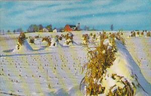 Corn Stalks It's Winter In Michigan