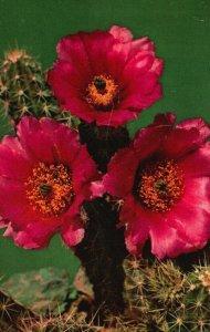 Warty Hedgehog Cactus, Southwestern Texas, TX, 1955 Vintage Postcard g9083