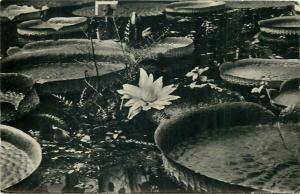 Ungaria Budapesta floare nufar postcard