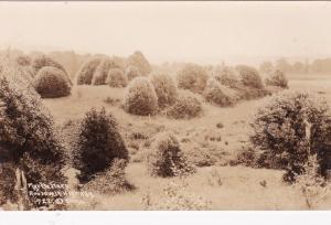 RP: NEW YORK, 1925-42s; Myrtle Trees, Roosevelt Highway