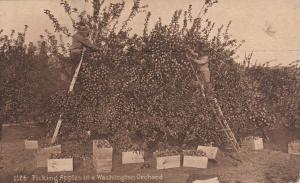 Picking apples in orchard , Washington , 00-10s