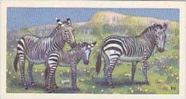 Brooke Bond Vintage Trade Card Wildlife In Danger 1963 No 10 Cape Mountain Zebra