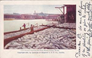 Salmon Catch 30 Thousand Fish Puget Sound Washington 1903