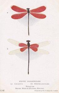 Lais Pudica American Rubyspot Antique Insect Postcard