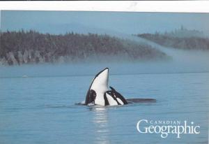 Killer Whales, B.C. , Canada , 50-70s #2
