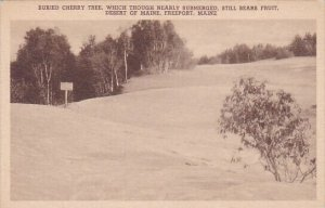 Buried Cherry Tree Which Thourgh Nearly Submerged Still Bears Fruit Desert Of...
