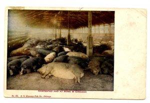 Sleeping Hogs