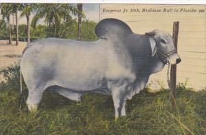 Florida Brahman Bull Emperor 10th 1940