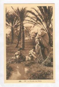 Northern Africa  Oasis 00-10s, La Recolte des Dattes