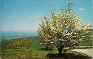 Dogwood In The Blue Ridge Mountains Virginia Unused Vintage Postcard POSTED 1976