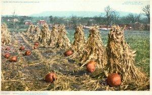 Vintage Postcard 1920's Corn and Pumpkins Patch Berkshire Hills
