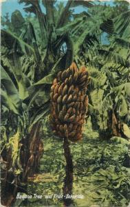 Bermuda Banana Tree and Fruit 1928 postcard