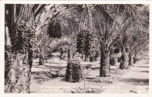 RP: A Coachella Valley Date Garden , near BANNING , California , 30-40s : FRASHE